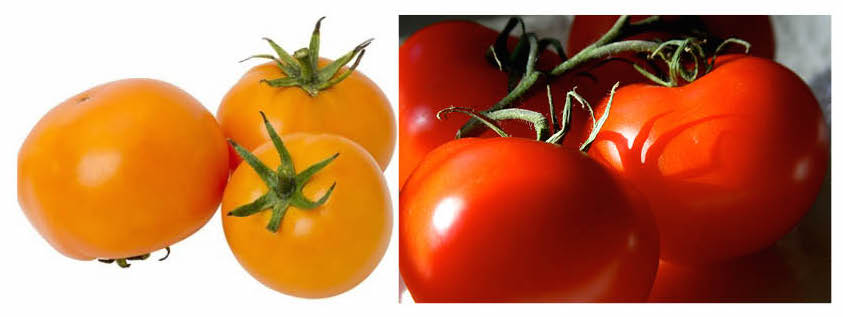 In mouse study, tomatoes lower skin cancer risk  But you